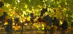 Mendoza and the Wine Region - Grapes