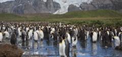 King Penguin Colony - South Georgia