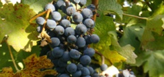 Wine and Culture - Vines