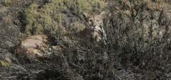 Puma - Torres del Paine
