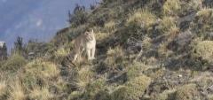 Puma spotting - Torres del Paine