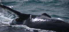 Whale watching Peninsula Valdés