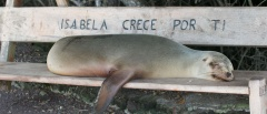 Isla Isabela Sea lion