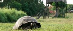 Santa Cruz Giant Tortoise