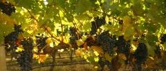 Mendoza and the Wine Region - Grapes